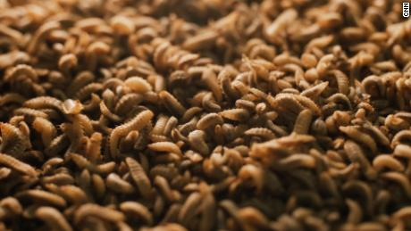 The larvae can eat up to four times their body weight in food waste a day.