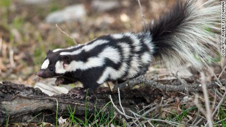 Spotted skunks are full of spunk.