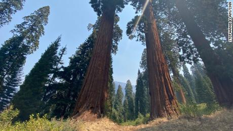 Two giant sequoia trees stand shoulder to shoulder in the Alder Creek Grove, more than 500 acres purchased by Save the Redwoods League in 2019.