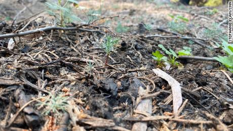 Tiny sequoia saplings that emerged after the Castle Fire offer hope for the tree's future.