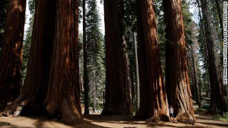 A tourist near giant sequoias at Sequoia National Park in California, in 2019.