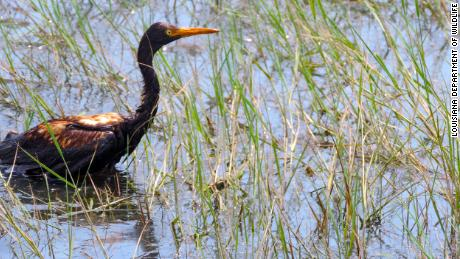 An oiled tricolored heron observed at the Alliance Refinery oil spill.