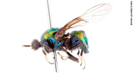 Opaluma rupaul is characterized by its iridescent colors.