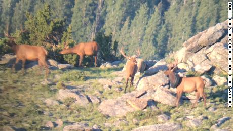 The first sighting of the elk with the tire around its neck from July 2019.