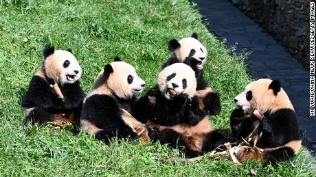 Giant pandas at the Shenshuping Base of China Conservation and Research Center for Giant Panda, which will become part of the Giant Panda National Park, in Sichuan, China, on September 3.