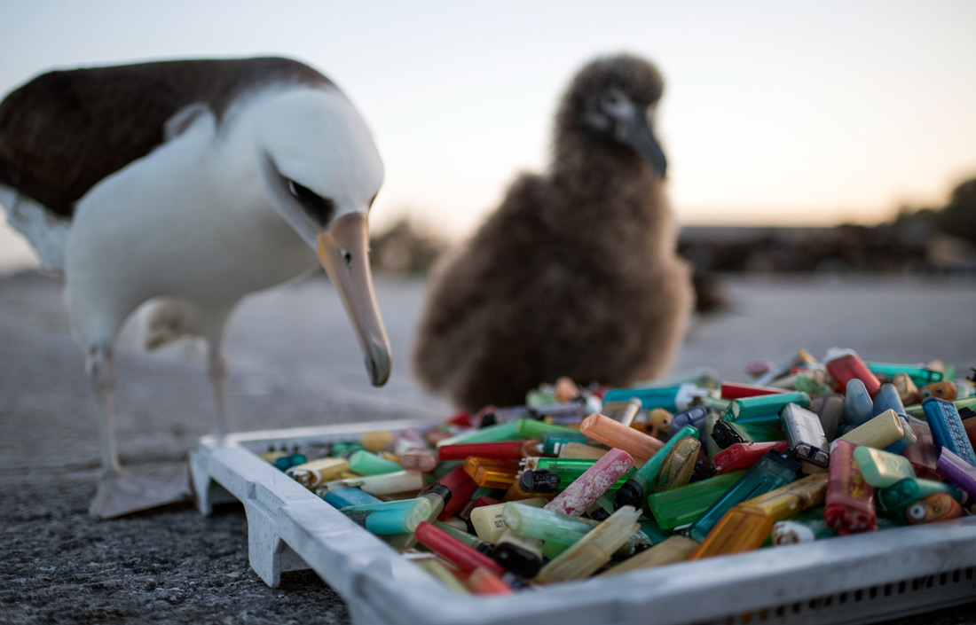 On A Remote Island Baby Albatrosses Suffer From T Of Plastic Trash