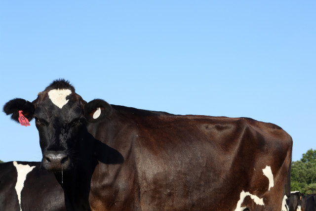 Farmers in southern Missouri are selling off dairy cows because their fields have dried up.