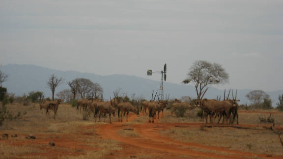 A herd of orix use an artificial water point. The Trust has built them in the form of boreholes and windmills.