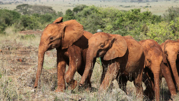 These are difficult times for Kenya's elephants. The David Sheldrick Wildlife Trust (DSWT) says that due to their inefficient digestive systems they are always first to feel the effects of drought.