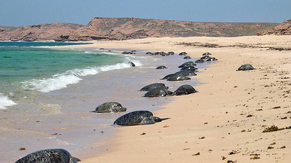 Green turtles haven't been monitored for long but are abundant and inhabit fairly isolated areas, nesting along the remote coast of Western Australia, according to conservationists