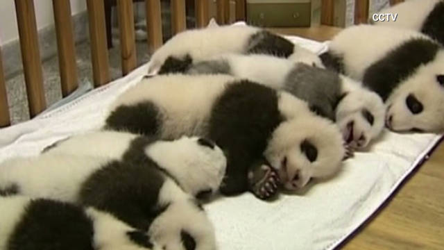 Thousands show up for panda cubs