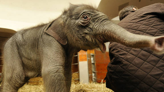 This is a baby elephant. It is very unlikely to get cancer.