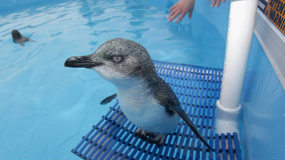 One of the rescued penguins that had been coated with oil recuperates in a water tank at a wildlife center in Tauranga on October 11.