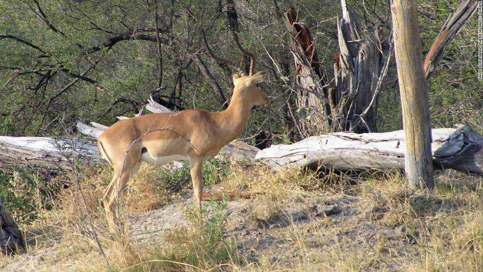 Impala can outrun wild dogs in the water.
