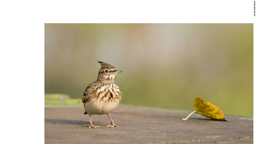 "This image of a Crested Lark was taken by Ilija Dukovski in central Skopje. ""Macedonia is yet to be discovered as a premier birding spot in the Balkans,"" he says."