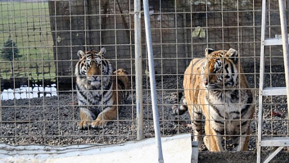 Two tigers that lived on Thompson