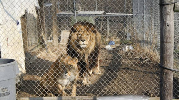 Thompson also kept lions on his property. Seventeen lions were killed after getting free. Thompson