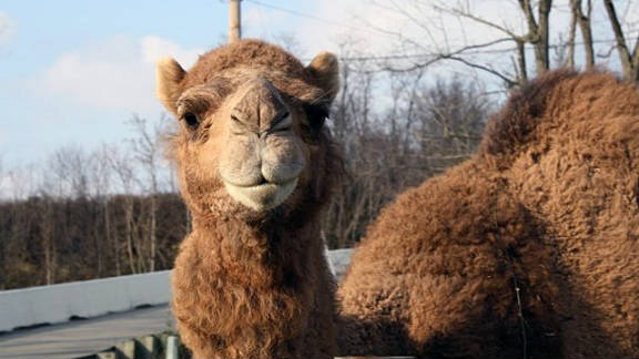 Thompson kept camels on his farm as well. Lutz said law enforcement officials were well aware of Thompson