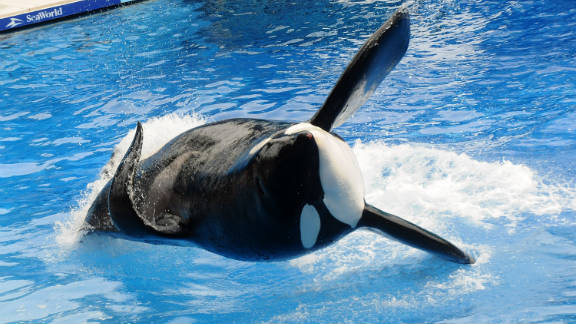 A killer whale performs at Sea World in Orlando on March 30. The whale, Tilikum, killed trainer Dawn Brancheau in February.