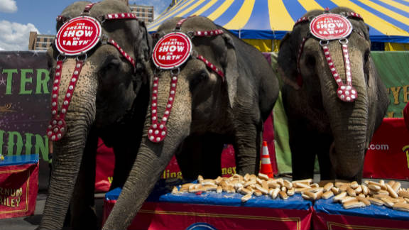 Ringling Bros elephants in Coney Island line up in front of a table full of hot dog buns in July 2010.