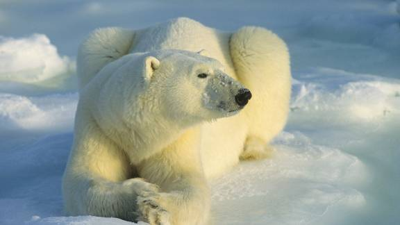 This is not one of the polar bears that trapped the Russian scientists