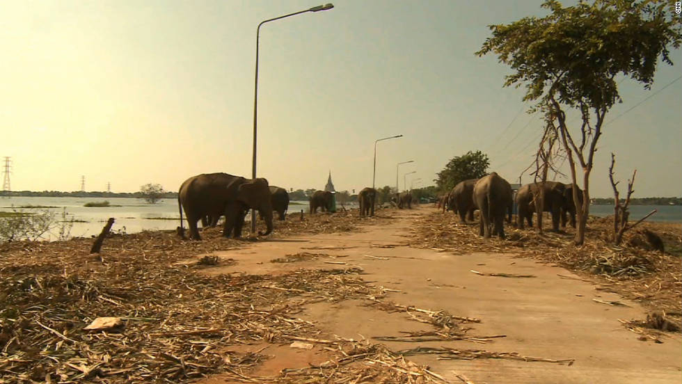 The rescued elephants scour for food on a dusty road surrounded by flood waters.