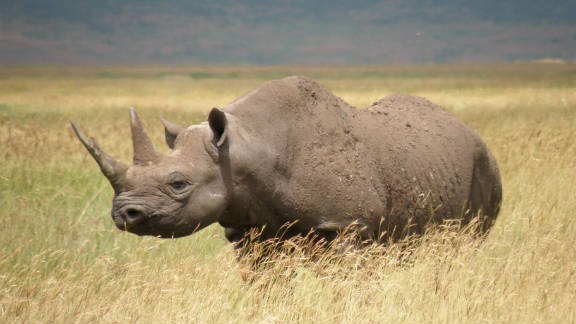 Poaching and lack of conservation have made a subspecies of Africa's black rhino (pictured) extinct.