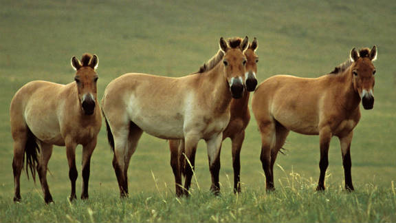 "In 1996 the Przewalski's Horse was listed as ""extinct in the wild."" But thanks to a captive breeding program its population has risen to around 300, say the IUCN."
