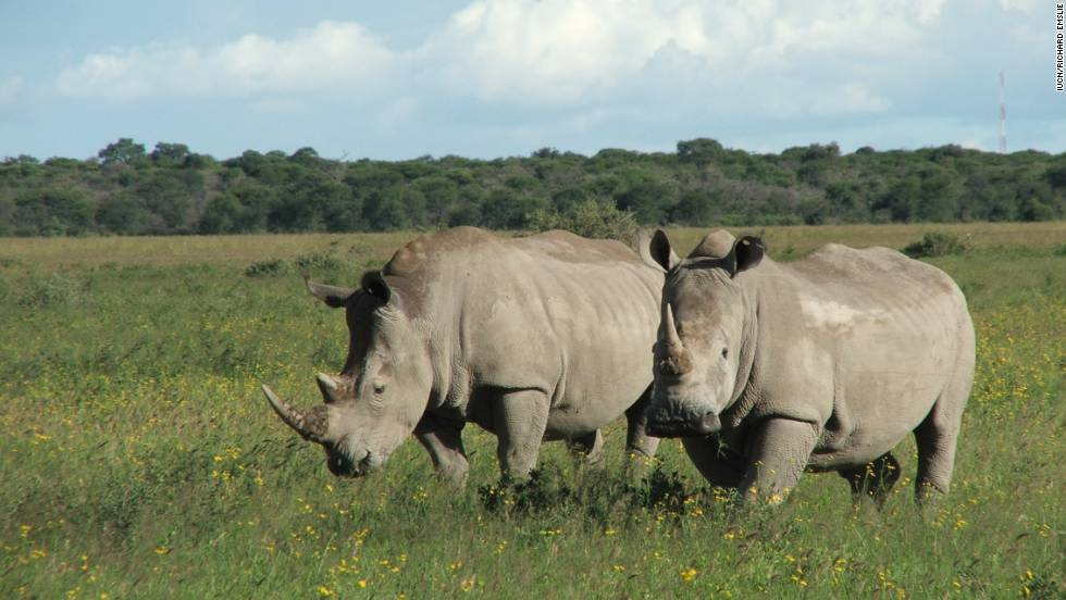 Uganda was once populated by the northern white rhino, but the breed was wiped out of the country by 1983. Only six remain is existence. Recently, in an attempt to repopulate Uganda with white rhinos, NGO Rhino Fund Uganda started a breeding program with the more populous southern white rhino.