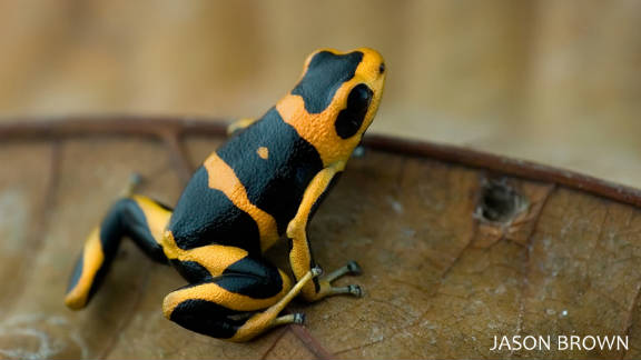 The summers' poison frog is a recently discovered amphibian which is classified as endangered.