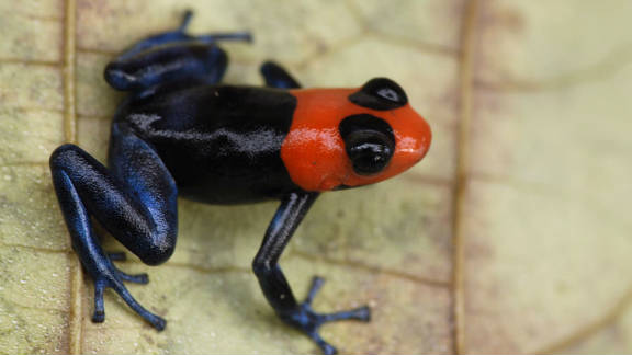 The blessed poison frog is currently listed as vulnerable, say the IUCN.