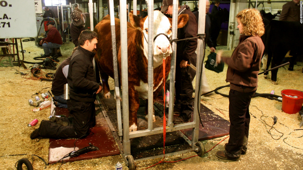 Before heading into the ring to be judged, each cow is put through an intense beauty regimen.