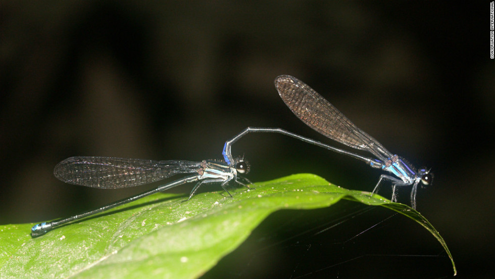 A new species of damselfly found on a research expedition to southwest Suriname breeds in forest swamps and its adults perch on rocks, logs, and twigs close to water's surface.