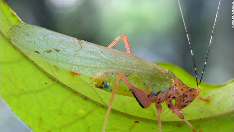 "A new species of katydid, nicknamed the ""Crayola Katydid"" was also thought to have been discovered by scientists on a trip to southwest Suriname."