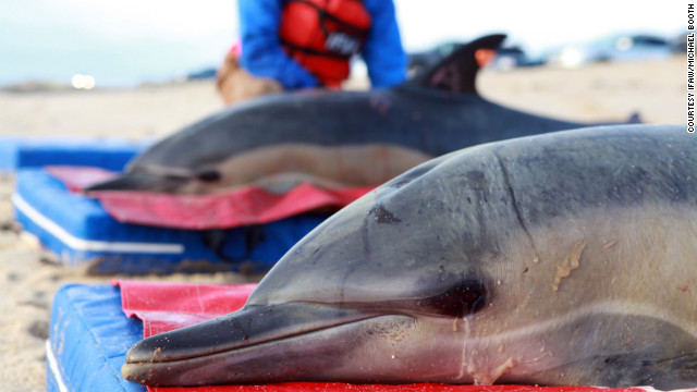 Scientists and volunteers attempt to aid stranded dolphins on Cape Cod, Massachusetts.