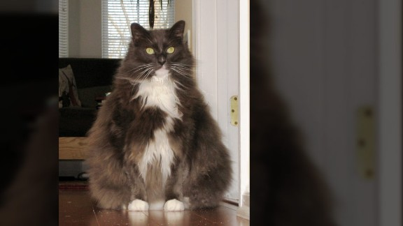 """Elizabeth Gutierrez of Pennington, New Jersey, says her 8-year-old cat, Tattoo, is so fat  the family has renamed him """"Fattoo.""""  The cat should probably weigh 12 pounds, but he's gotten up to more than 22 pounds. The vet has told her Tattoo could develop diabetes and other health problems if he doesn't lose weight."""