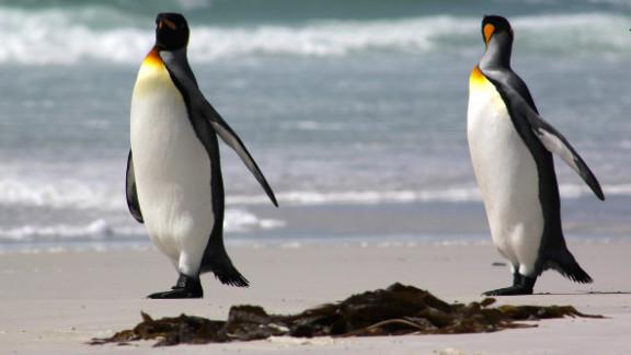 Several species of penguins inhabit the Falkland islands.