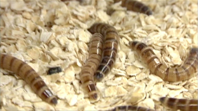 dnt KSLA eating bugs insect protein_00000401