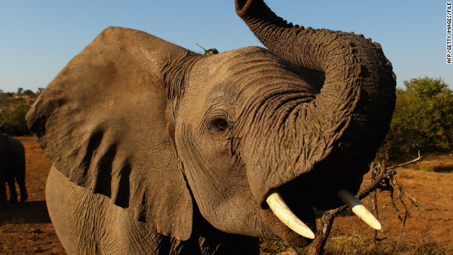 The government in Cameroon has launched a crackdown on poachers who have been killing elephants for their tusks.