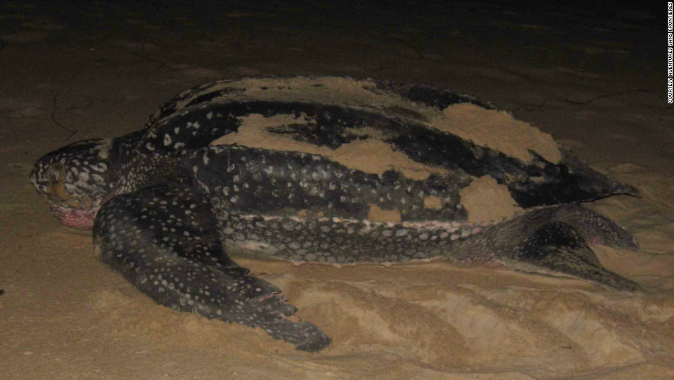A leatherback at night, Gabon.