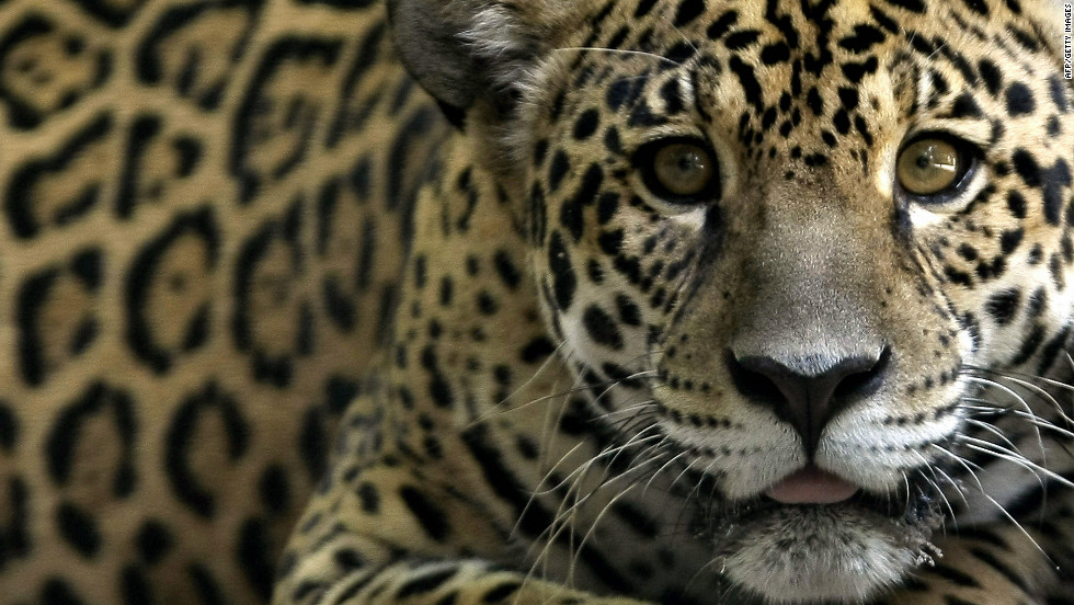 The jaguar is one of the endangered species to be found in Amazonia - this one is pictured in a Brazilian reserve.