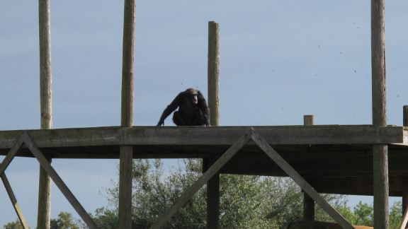 """Moesha is the first chimp to make it onto one of the islands. After a lifetime spent indoors, these chimpanzees can finally look up and see the sun. Feuerstein expresses her relief that the foundation's 10-year rescue operation has come to a successful end. """"It's amazing what we've accomplished,"""" she says. """"Nobody's moved this many chimps over this many years and without incident."""""""