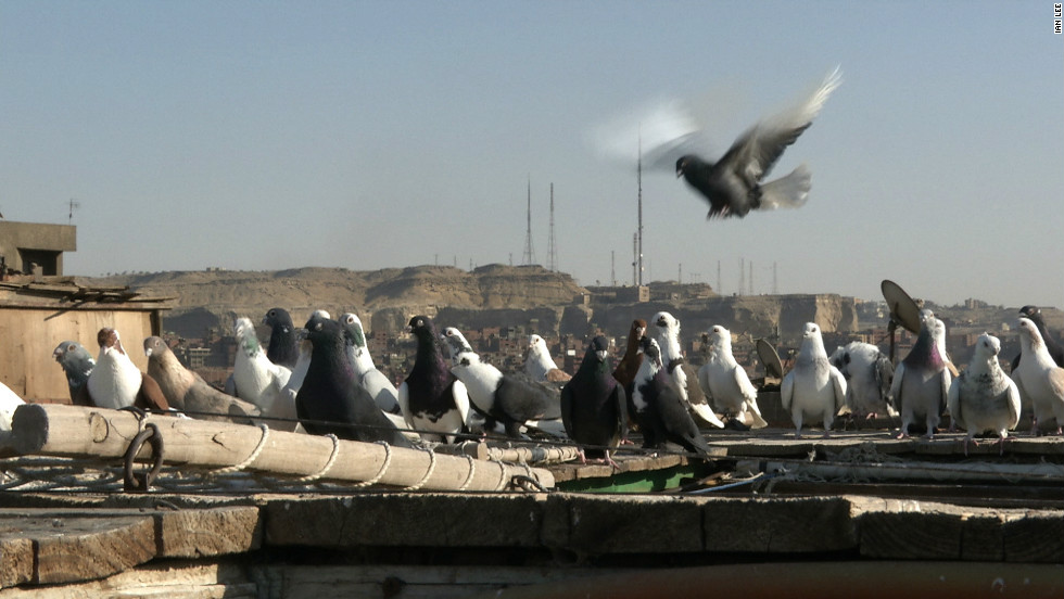 There are two million pigeon breeders in Egypt, according to breeder Moustafa Hassan.