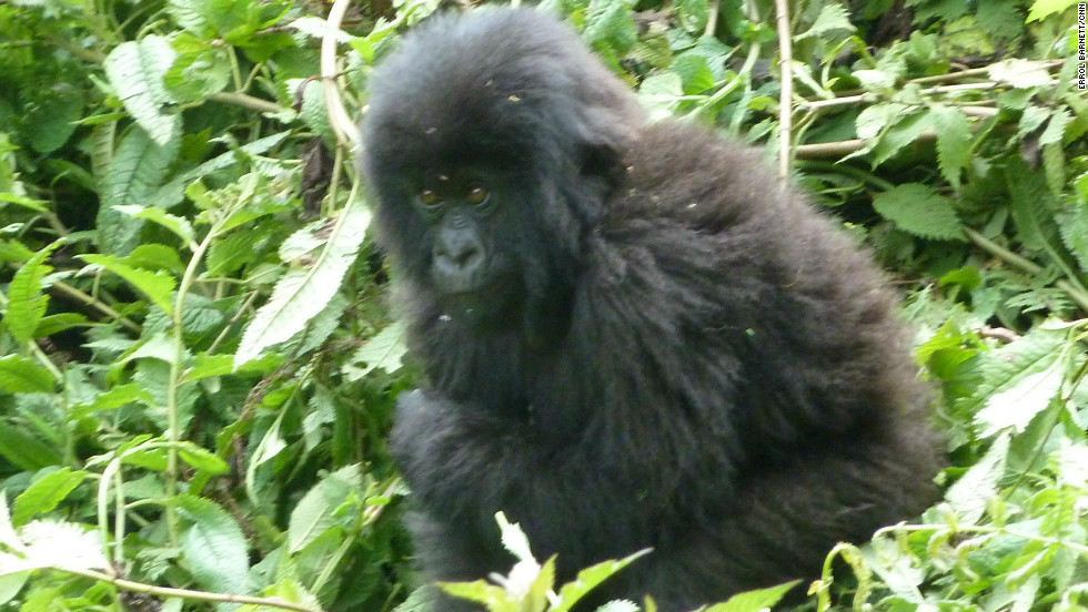 A young mountain gorilla in Volcanoes National Park, Rwanda.