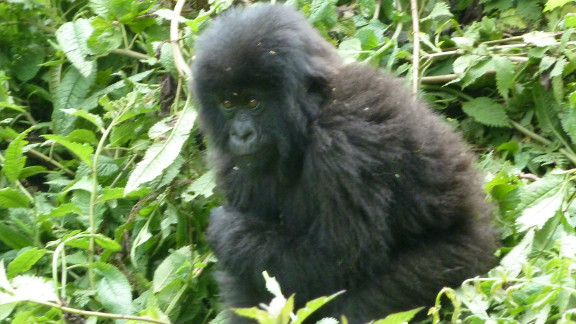 A young mountain gorilla in Volcanoes National Park, Rwanda.