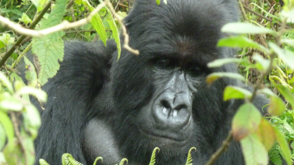 An adult mountain gorilla. There are less than 800 of the species living in the wild. Although endangered, their numbers are increasing.