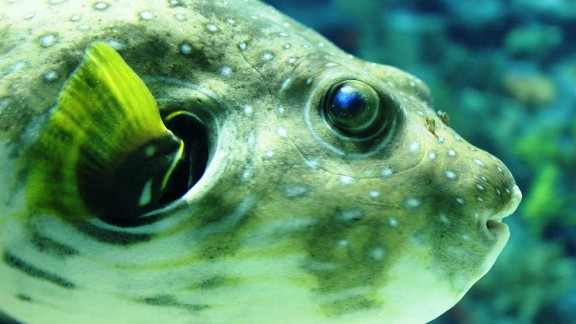 This spiky fish's toxin may treat chronic pain. Researchers have found that the toxin is 3,000 times more potent than the painkiller morphine.