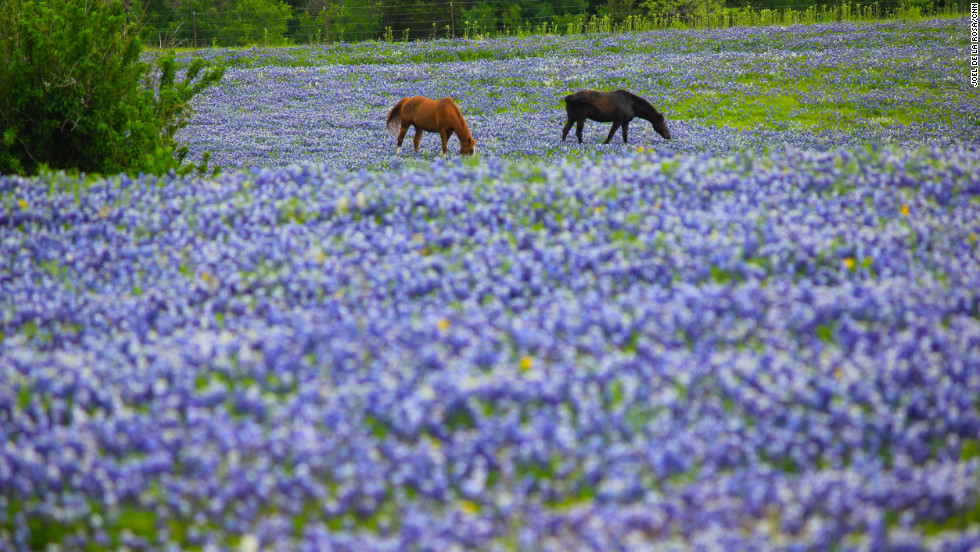 "Horses graze near the flowers. The bluebonnets thrive on hillsides with poor soil and good drainage. Learn more about bluebonnets and native plants at the <a href=""http://www.wildflower.org/"" target=""_blank"">Lady Bird Johnson Wildflower Center.</a>"