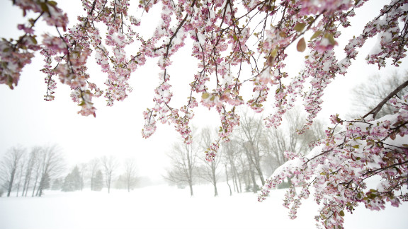 Eight inches of snow covered parts of Somerset, Pennsylvania, on Monday. A storm beginning in the Northeast pushed west, covering Spring blooms.