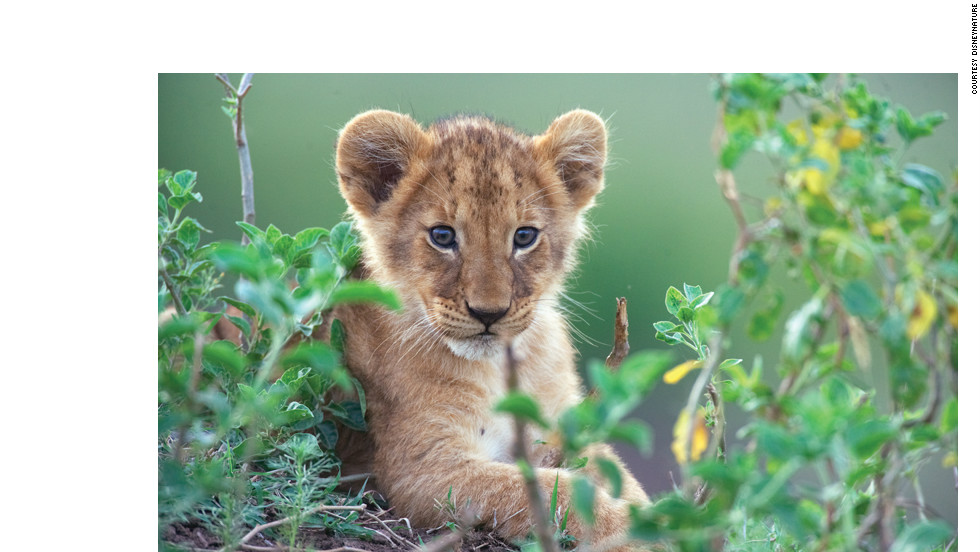 A lion cub. Young lions remain dependent on their mothers for two years, after which males may be ousted from the pride. While lions are apex predators in their environment, cubs are vulnerable to attack by hyenas and leopards.